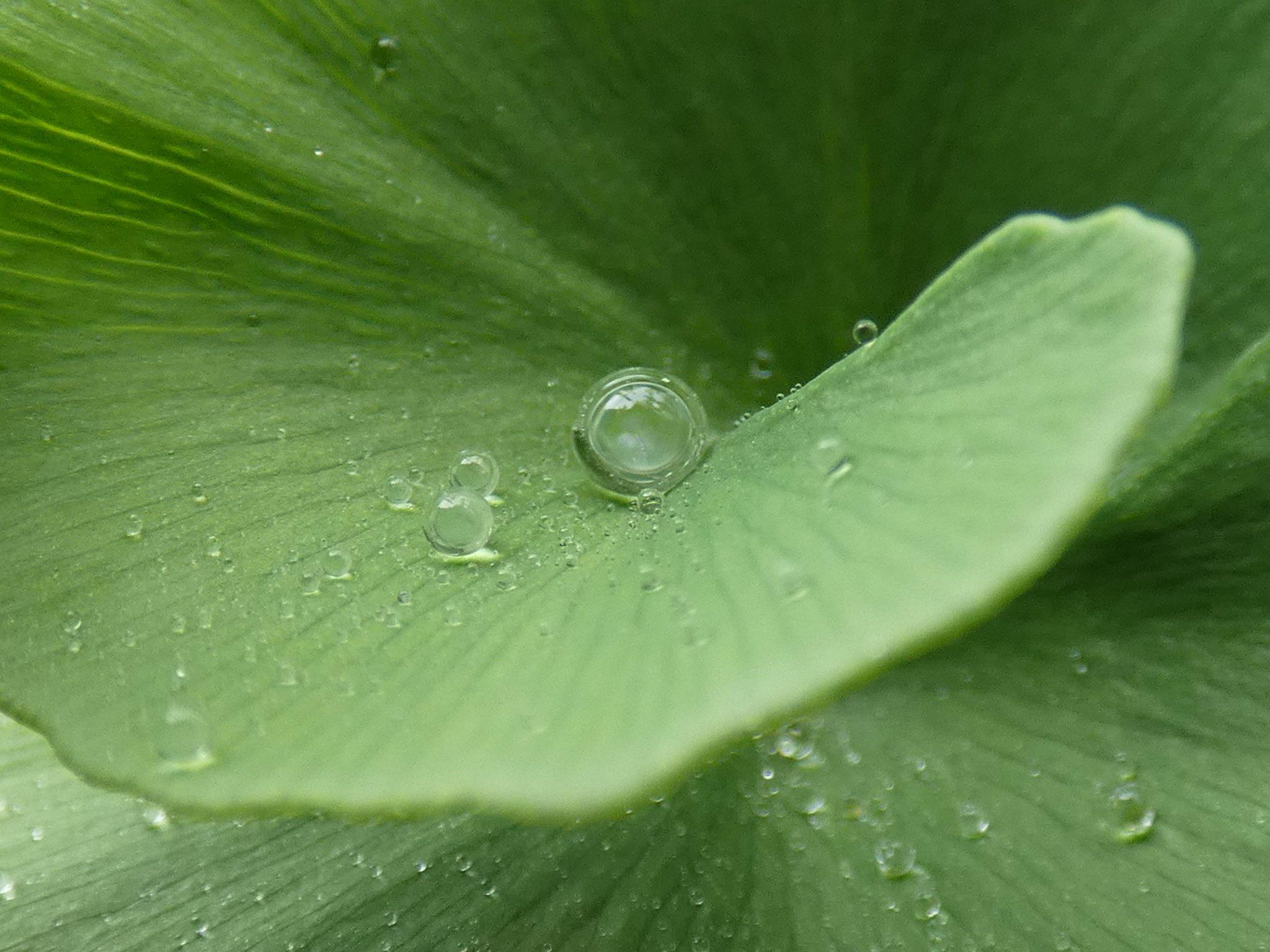 Une goutte d'eau parfaite sur un feuille de Ginkgo biloba