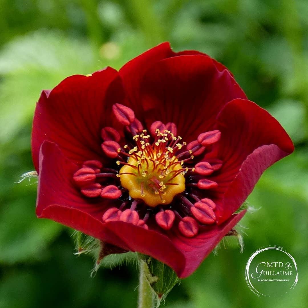 Potentille rouge-sang, d'une couleur unique