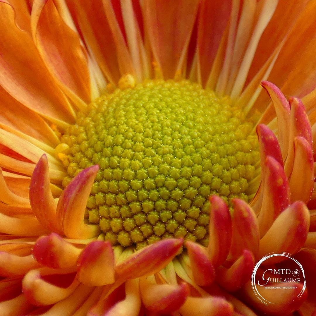 Le coeur de l'inflorescence d'un chrysanthème