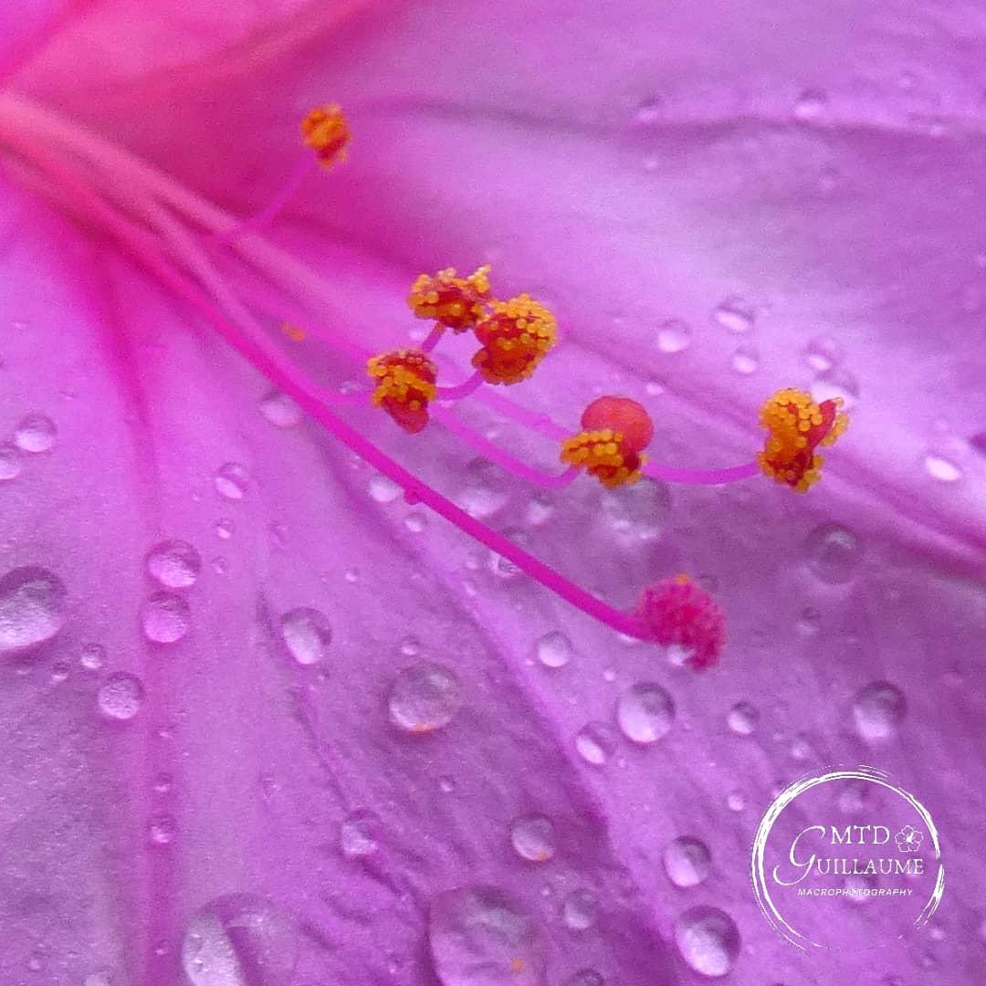 Etamines et grains de pollen